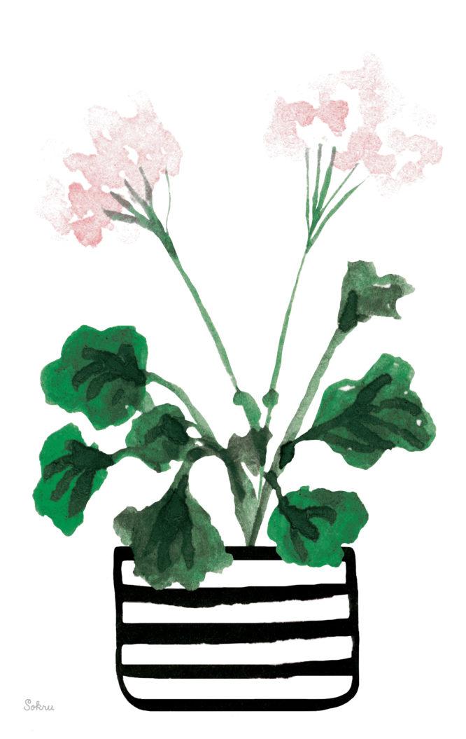 Sokru • Pelargoni